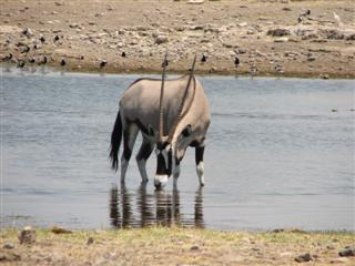 Gemsbok at a watering hole.